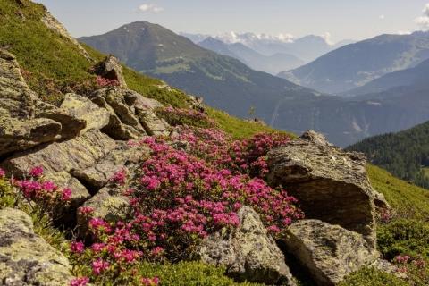 Alpenrose mit Bergblick