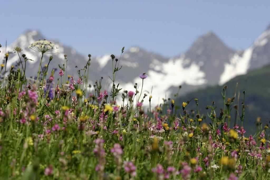 Almwiese mi Bergblumen